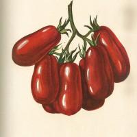 """Tavola del pomodoro San Marzano pubblicata su """"Italia agricola"""" del 1929 (speciale Orticoltura)."""