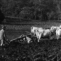 Negli anni Trenta, a Castelvetro e nella valle del Panaro, i buoi erano fondamentali per l'aratura dei terreni non destinati alla coltura della vite e degli alberi da frutto.  Foto Archivio G. Simonini, Gruppo Mezaluna - Mario Menabue.
