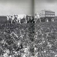 Trasporto animale della barbabietola (anni '50-'60) Da: S. Nardi, Strutture e tendenze dell'agricoltura ravennate (1950-1970), Ravenna 1976