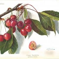 """Tavola della ciliegina zuccherina pubblicata su """"Italia agricola"""" del 1922."""