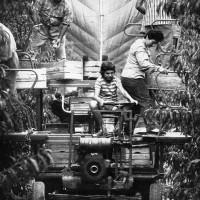 La raccolta semimeccanizzata in un pescheto a palmetta, con rete antigrandine, anni '60-'70. Da: S. Nardi, Strutture e tendenze dell'agricoltura ravennate (1950-1970), Ravenna 1976