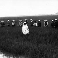 Mondine nella Tenuta Sacerdoti a Rovereto di Novi di Modena, Anni Trenta. La coltivazione del riso, dopo la bonifica, si sviluppa in modo sempre più intensivo