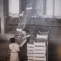 Operaie della Cooperativa frutticoltori di Massa Lombarda caricano padelle di frutta in un vagone ferroviario [1960-61]. Da: E. Guerra, Molte voci, una storia: la cooperazione ravennate negli anni '50-'70, Ravenna 2004, p. 24