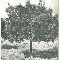 """Copertina della rivista """"Italia agricola"""" del 15 settembre 1920 dedicata alla coltivazione degli aranci in Sicilia."""