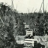 Gabbiette di pomodoro industria Carlo Erba (Collezione Longarini).