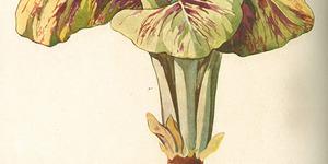 """Tavola del radicchio rosso di Castelfranco pubblicata su """"Italia agricola"""" del 1929 (speciale Orticoltura)."""