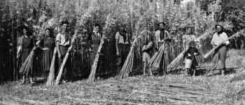 Gruppo di lavoratori agricoli intenti a mietere la canapa. Negli anni Trenta questa coltura era ancora diffusa nella provincia modenese e i maceri punteggiavano le zone rurali. Foto Archivio G. Simonini, Gruppo Mezaluna - Mario Menabue.