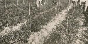 1932. Operatori al lavoro nel campo sperimentale di Sala Baganza (archivio SSICA).